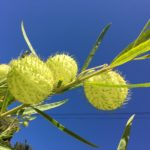 yellow seed pods